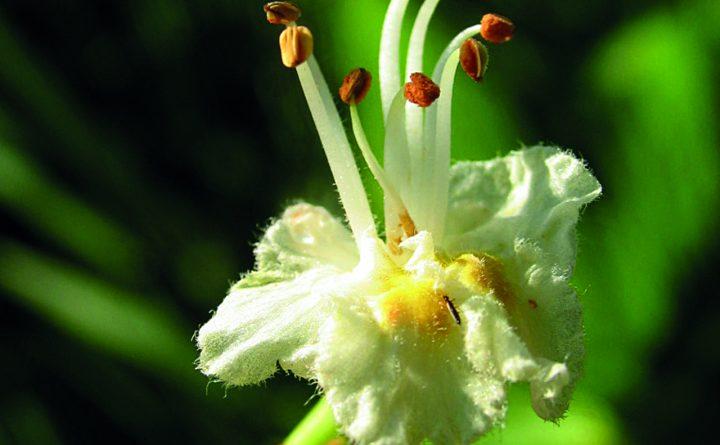 35-white-chestnut-b