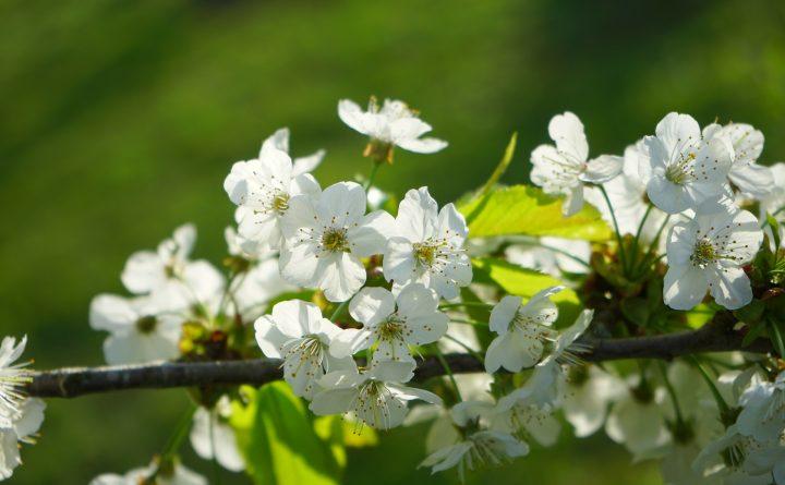 cherry-blossoms-324539_1920
