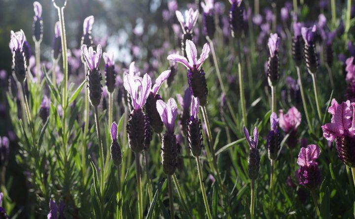 lavender-garden-2852125_1920