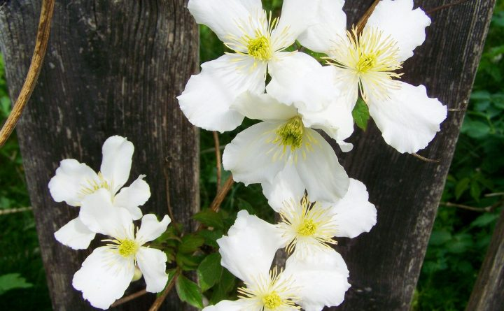 white-clematis-779455_1920